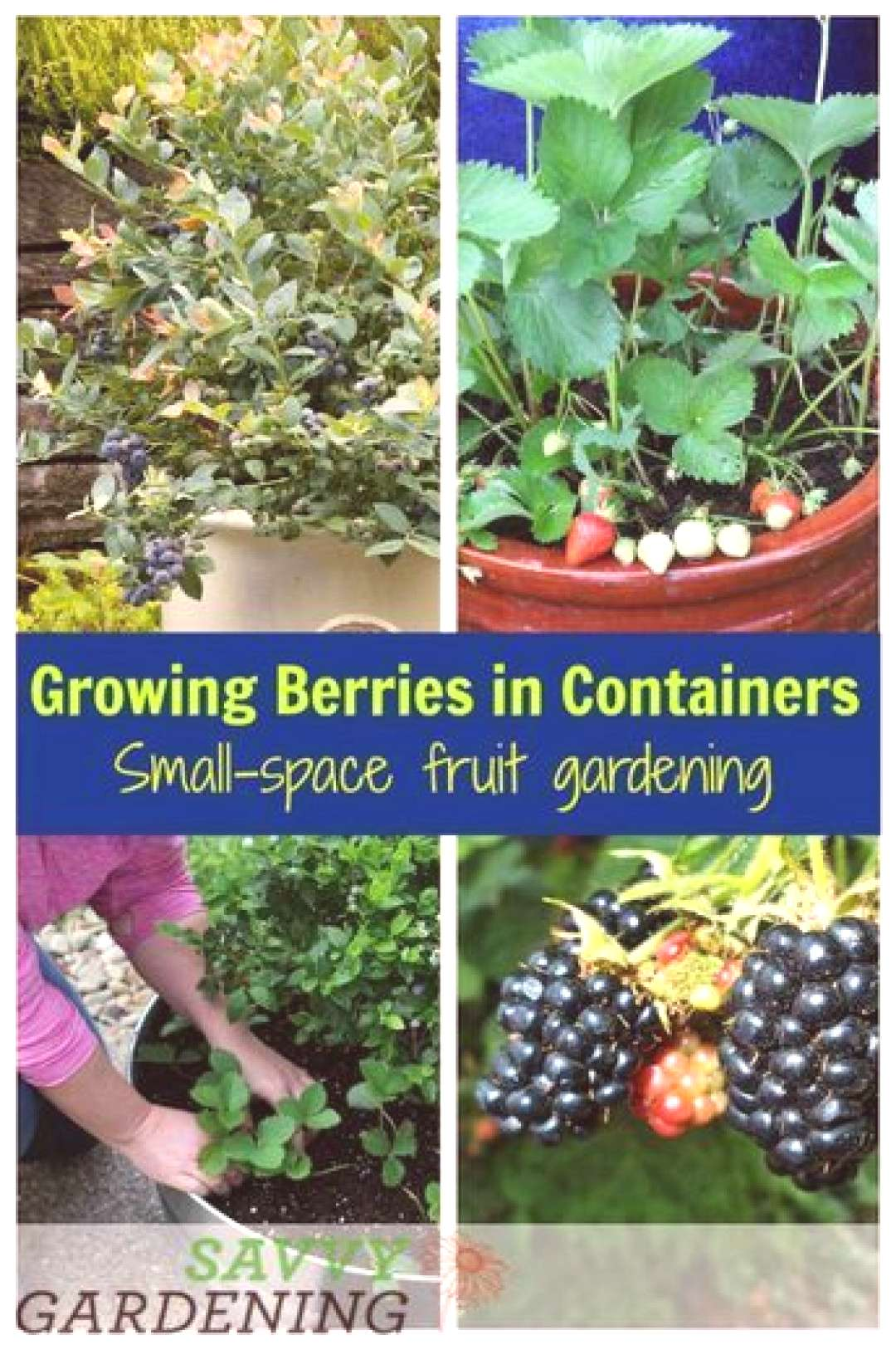 Growing berries in containers is the perfect way to have a small-space fruit garden. Learn about th