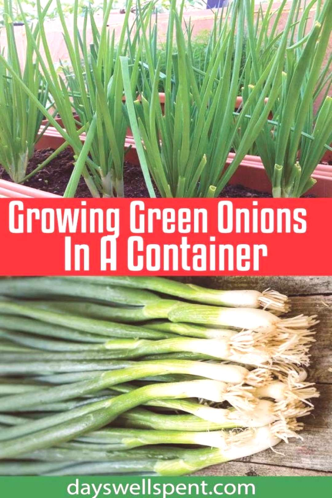 Growing green onions in a container is easy, doesn't require much room and they can be grown year-r