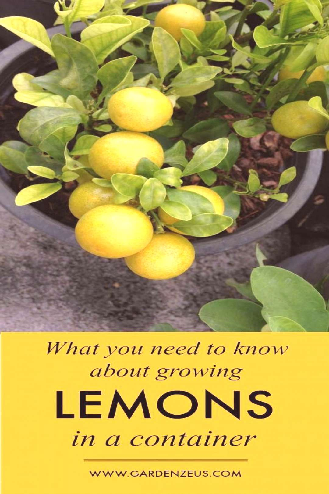 What you need to know about growing lemons in a container